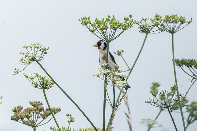 Goldfinch in the Umbellifer