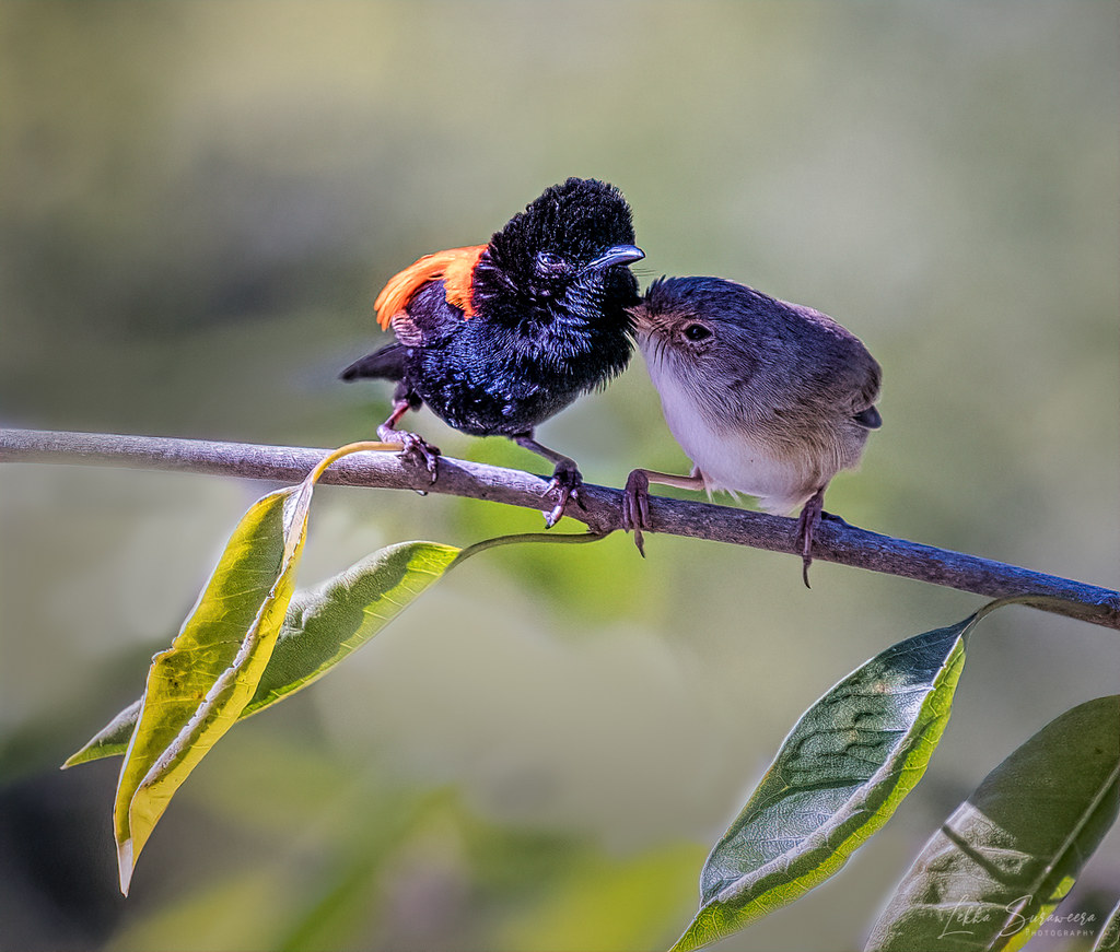 Red - Backed Fairy wrens