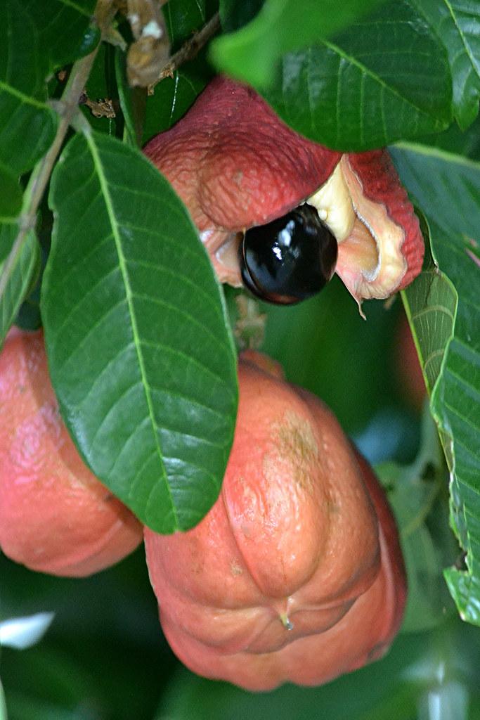 Ripe Ackee has split open to reveal shiny black seed