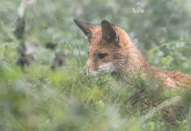 Fox in fog