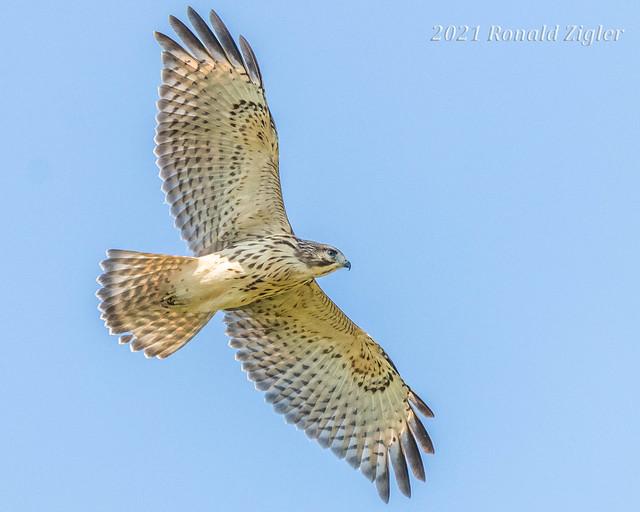 Broad-winged Hawk in flight IMG_9842