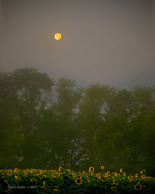 Moonflowers!