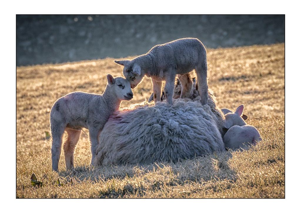 Lambs 8427