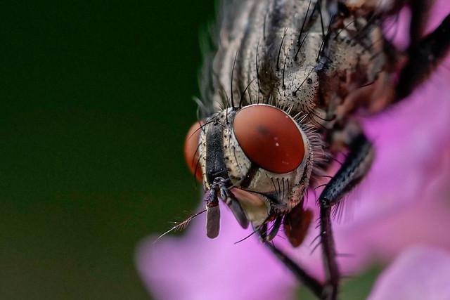 Portrait einer Fliege