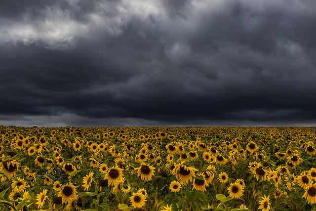 Moody sunflowers