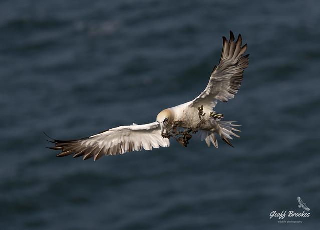 Gannet Carrying nest material-1