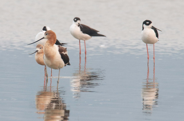 Black-necked Stilts and American Avocets