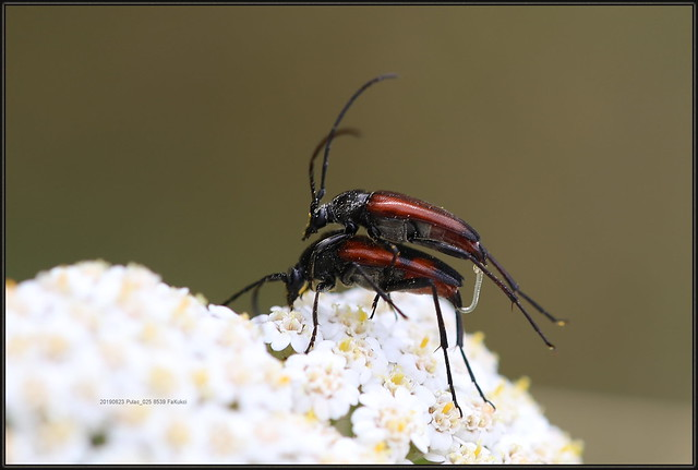 Stenurella bifasciata, a member of Flower Longhorn Beetles, Subfamily Lepturinae, 8539 FaKukci, 20190623 Pulac_002