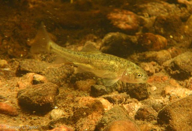 Juvenile Tahoe sucker in the Upper Truckee River