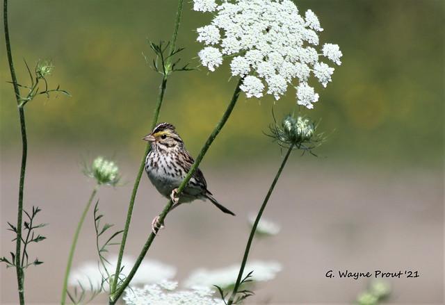 Savannah Sparrow (Passerculus sandwichensis) and