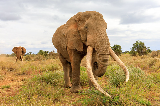Craig, one the the largest surviving tuskers