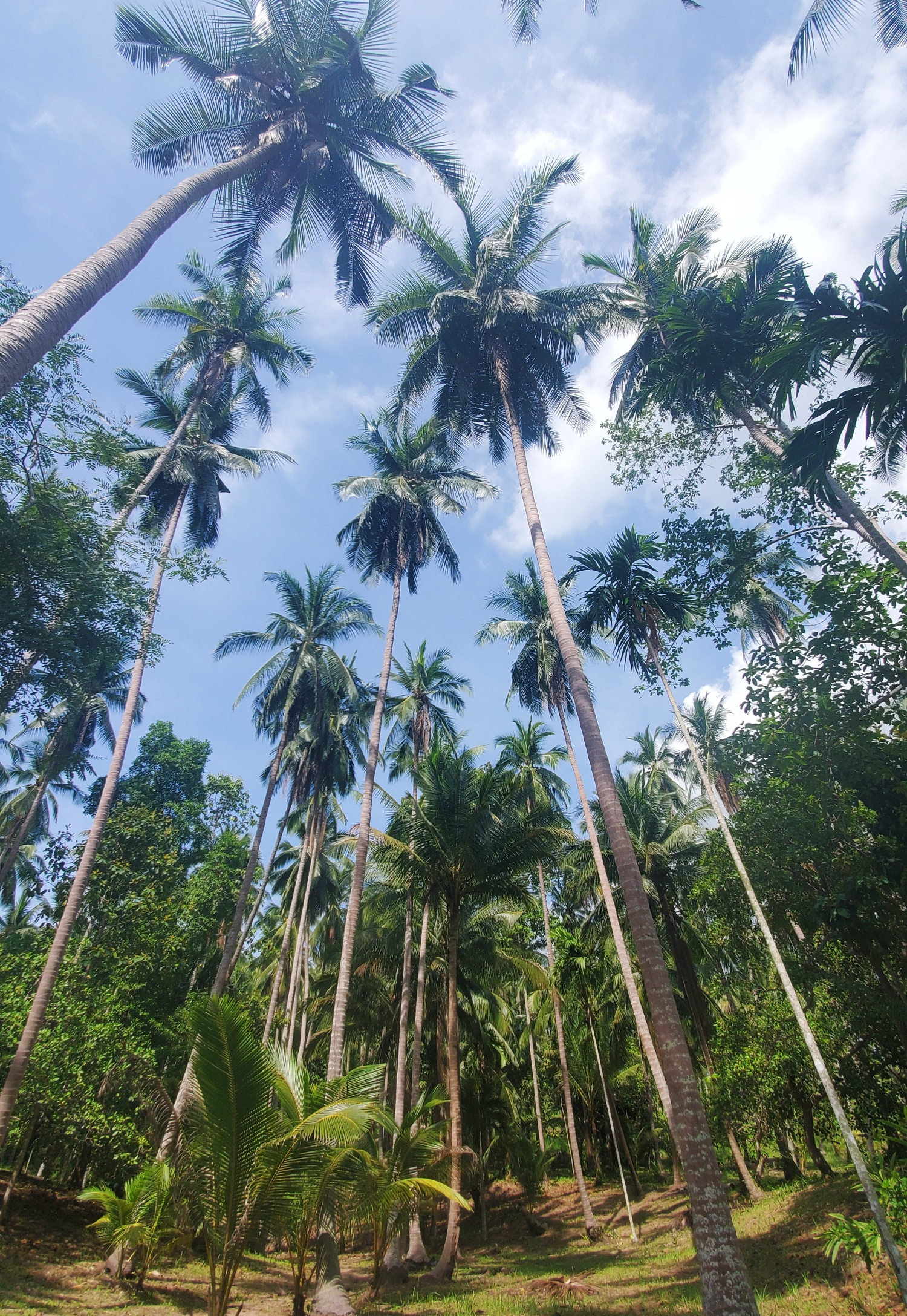 Koh Samui palm trees