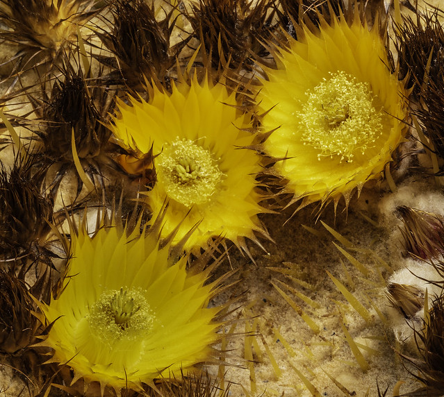 Barrel Cactus Flowers In The Light