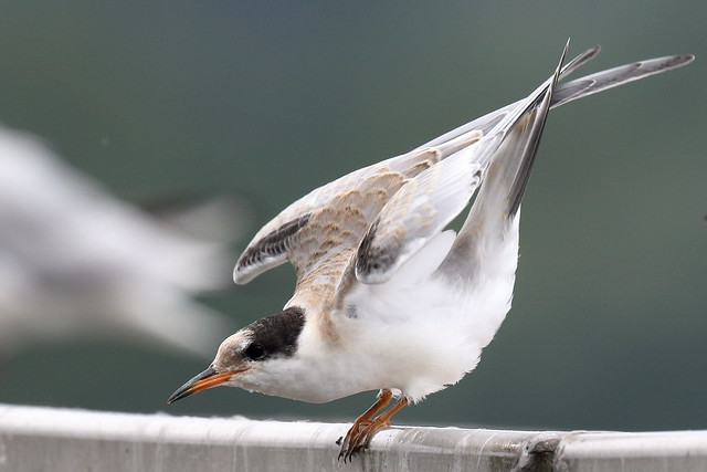 Common Tern (Sterna hirundo) - juvenile