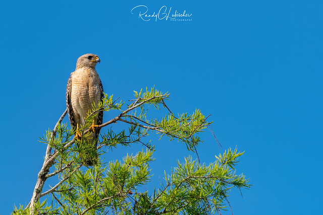 Red-shouldered Hawk | Buteo lineatus | 2021 - 15