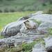 white marmot