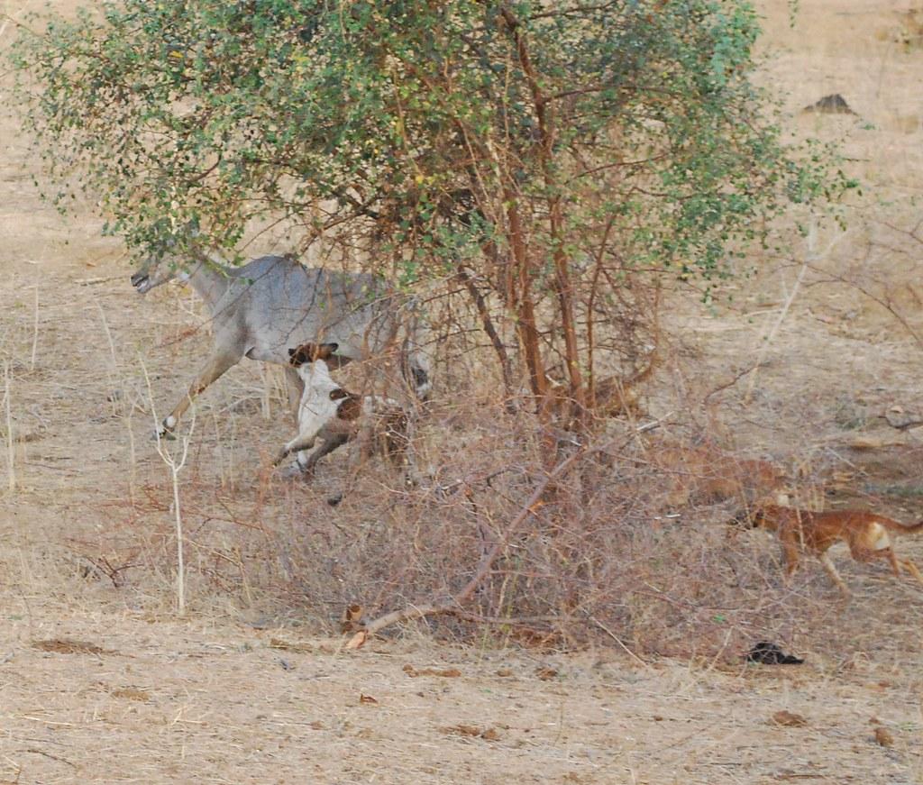 1 野狗正在追逐南印度一處老虎保護區裡的藍牛羚。圖片來源:Chenduraju。