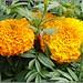 Orange French Marigolds ..