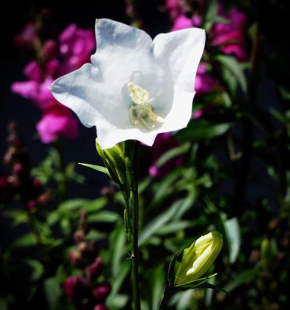 Beautiful White Campanula.