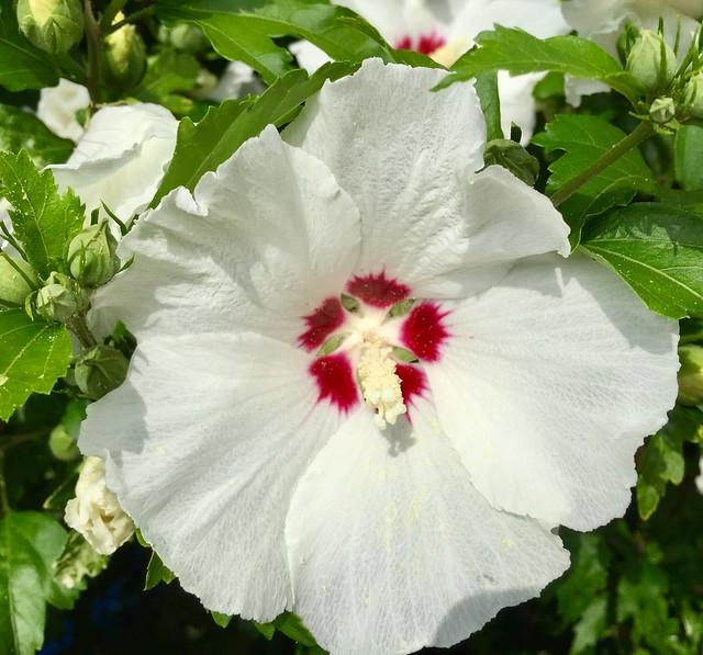 """Die weiße"""" Schönheit"""""""