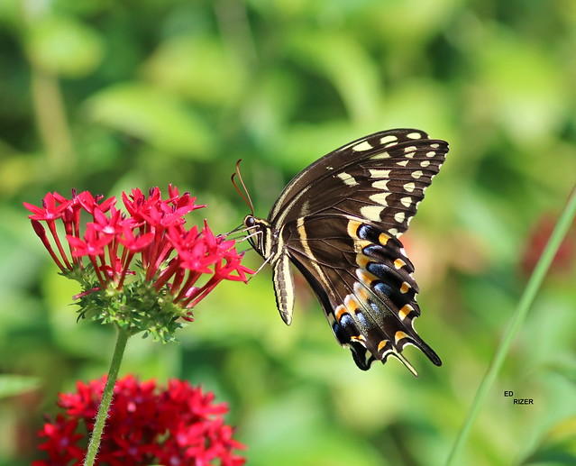 The elegant PALAMEDES SWALLOWTAIL on Pentas. The Beauty Of God's Creation on the Lake Wales Ridge in Polk County Florida USA 7/26/21