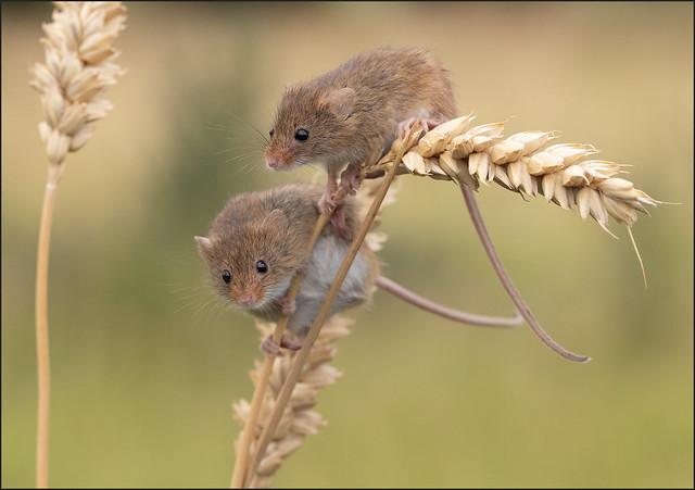 Harvest Mice