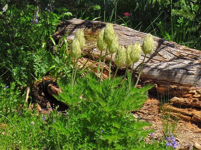 Pasqueflower Seedheads
