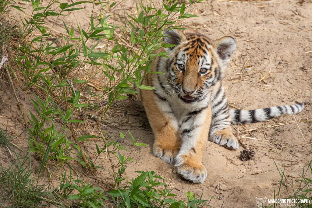 Siberian Tiger Cub - Safaripark Beekse Bergen - The Netherlands