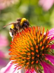 Bumblebee...