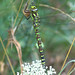 Southern hawker (Aeshna cyanea), f