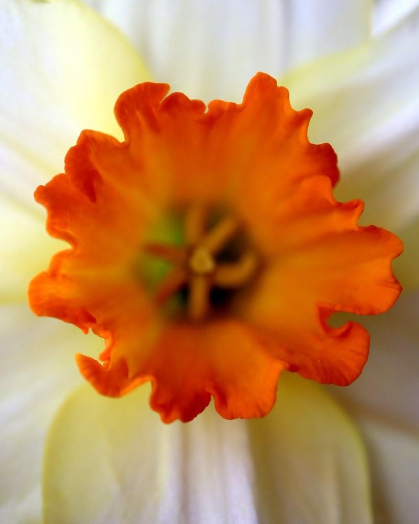 08_daffodil