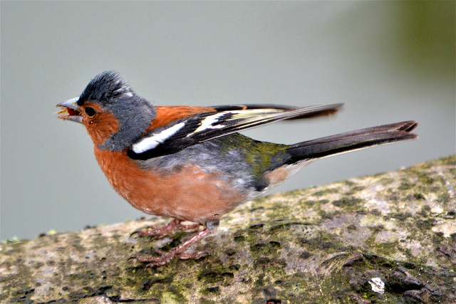 Chaffinch just landed