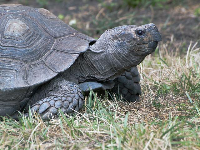 Toledo Zoo 06-27-2011 - Tortoise 4