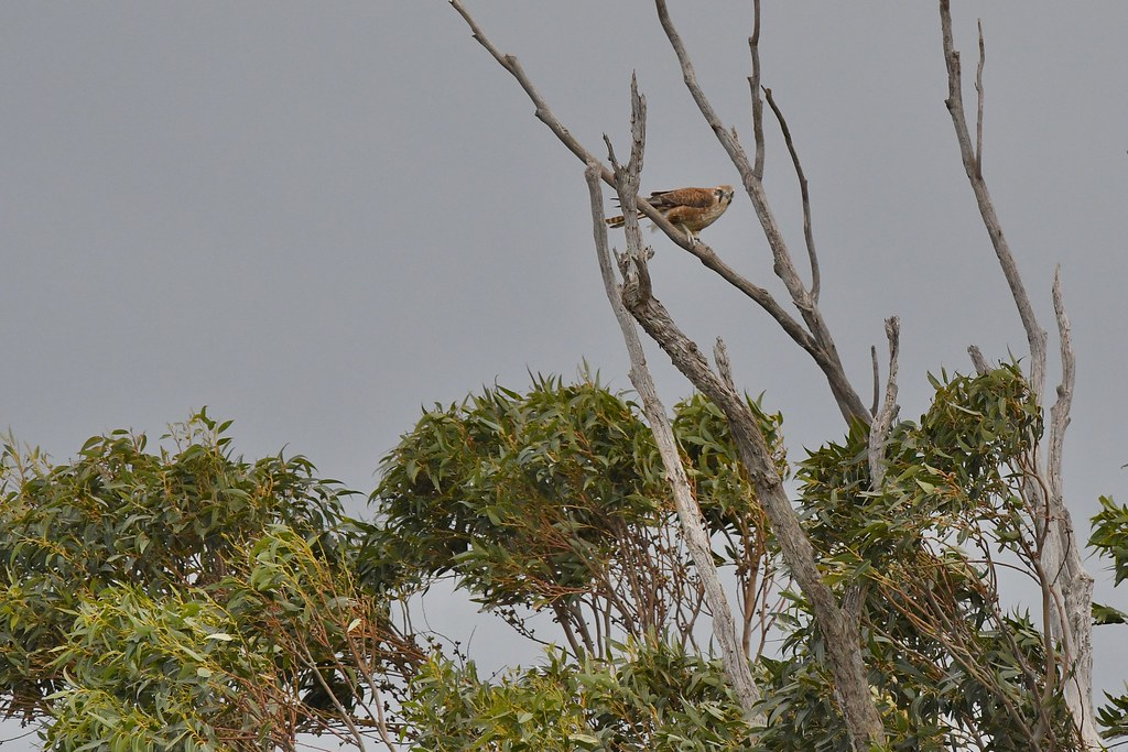 Brown Falcon ( windy at the top )
