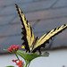Yellow Swallow 7_27_1
