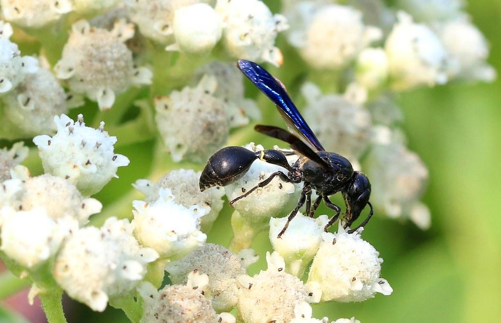 mason wasp (Zethus spinipes spinipes) on Virginia mountain mint at Decorah Prairie IA 653A6645