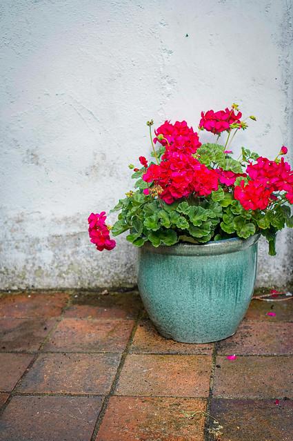 Pot of Geraniums #207
