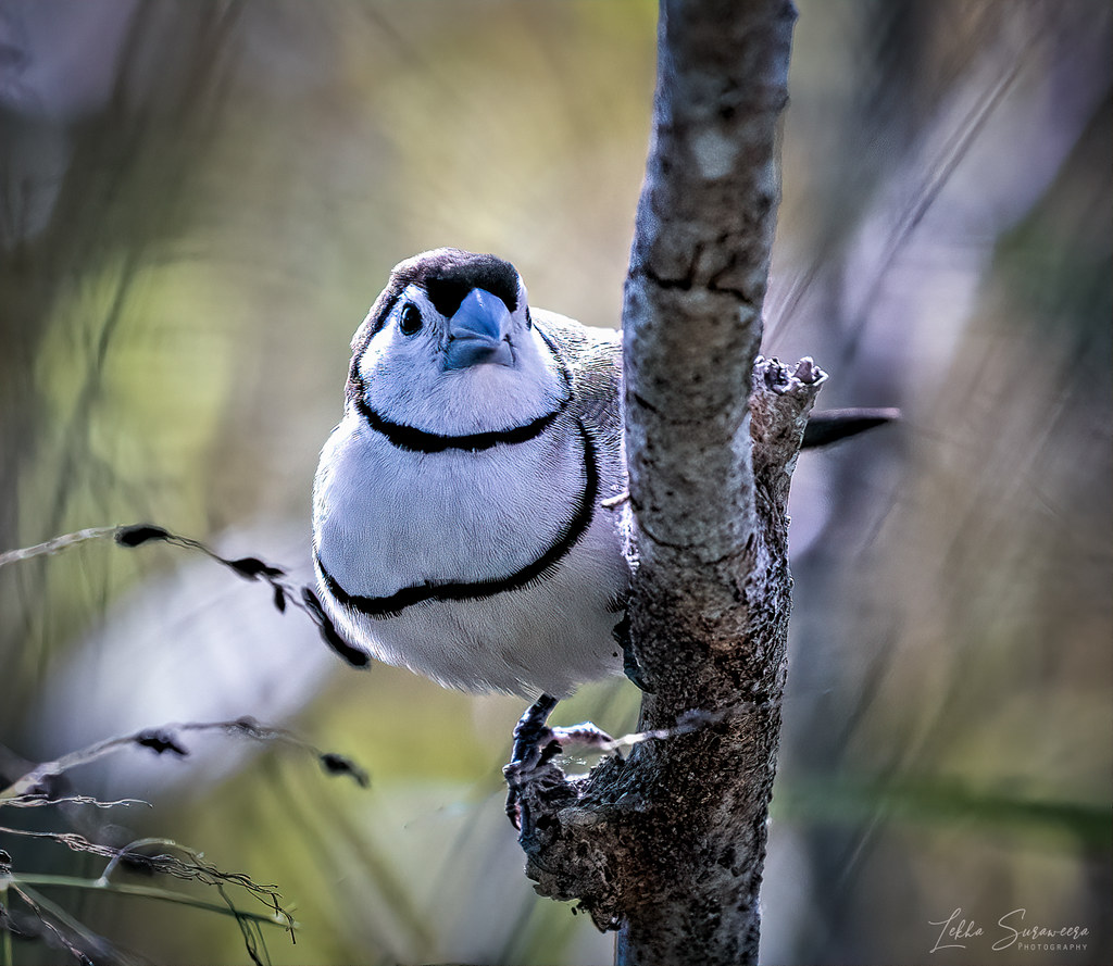 Double- Barred finch