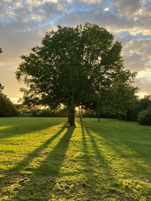 Sunrise behind the oak tree. Perspective.