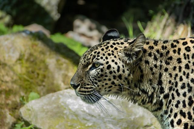 Leopard (Panthera pardus saxicolor)