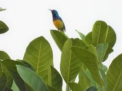 Ziernektarvogel (Cinnyris venustus) (1)