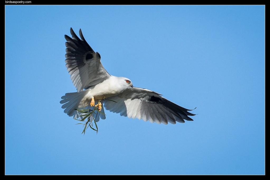 Black-shouldered Kite: Buidling Renovations