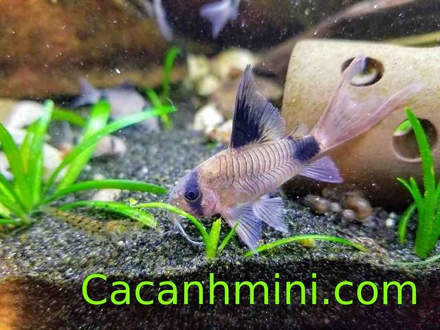 Tổng hợp các loại cá chuột dọn bể được yêu thích nhất