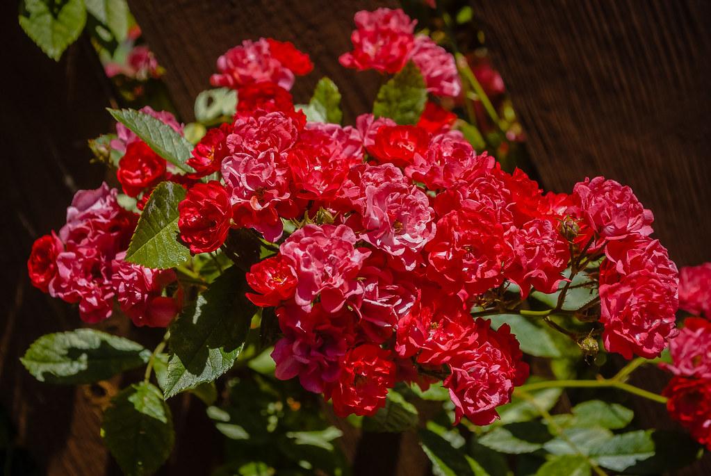 роскошные оттенки красного!  13:17:08 DSC_3818