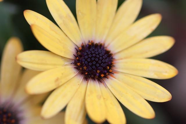 IMG_5392 Daisy