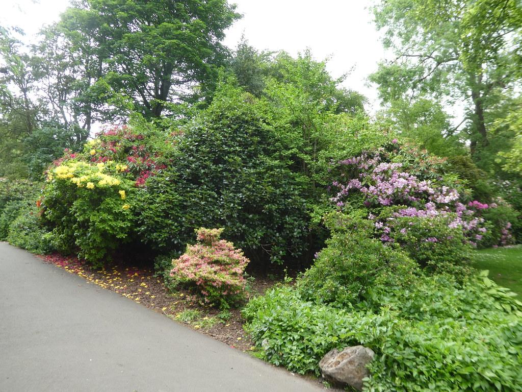 Azaleas in the Glasgow Botanic Gardens