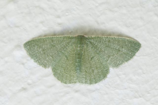 Geometridae, Phaiogramma fustigata