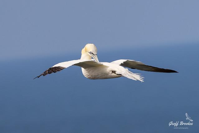 Gannet preening on the wing