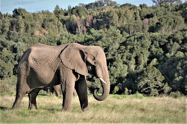 Knysna, South Africa elephant