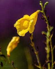 Love the purple yellow contrast. . . . #thankful #flowers #flowersud83cudf38 #flowersofinstagram #garden #trumpetbush #yellowelder #macro #macrophotography #macroandflowers #flowersandmacro #macroandflora